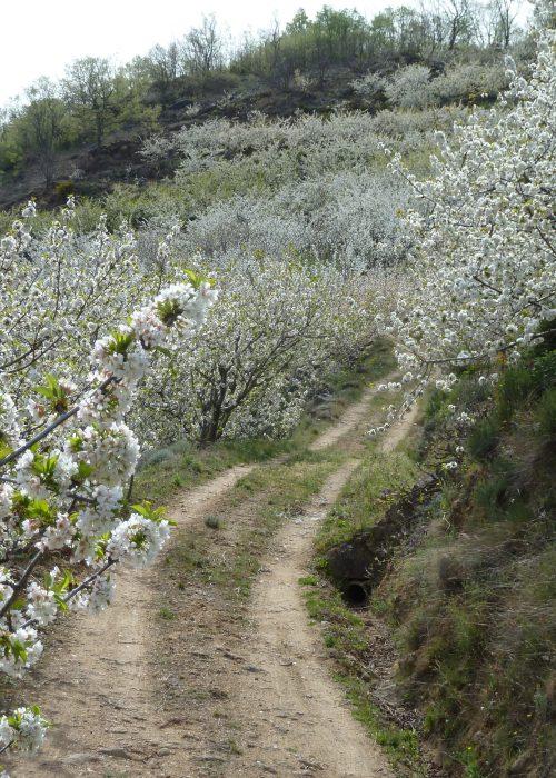 Floración del Cerezo en el Valle del Jerte. - Senderos Cordoba